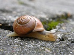White-lipped Snail (Cepaea hortensis)